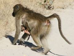 Should have used the Assos chamois crème. Prevents the Luxury Monkeybutt.